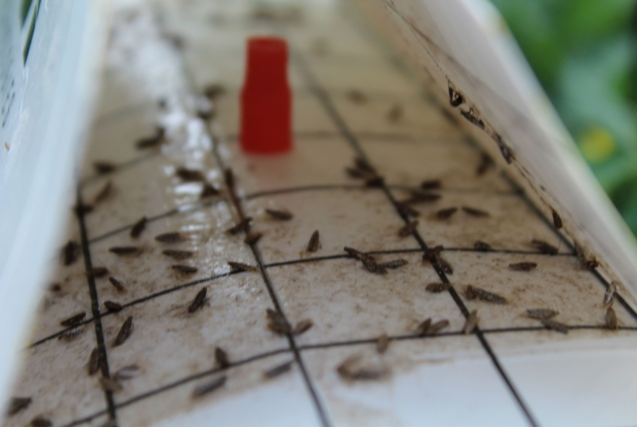 Sticky traps provided by the Virginia Tech-led Innovation Lab during a Tuta absoluta workshop allow partners in Nepal to identify the presence of the tomato leafminer in the country.